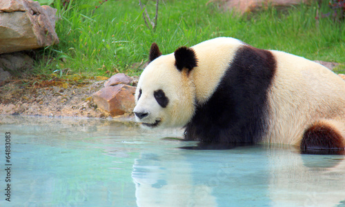 Keuken foto achterwand Panda Bain de vapeur d'un panda géant