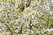 Obrazy na płótnie, fototapety, zdjęcia, fotoobrazy drukowane : Apfelblüte - Hintergrund