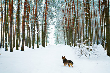 Lonely dog in pine forest covered with snow