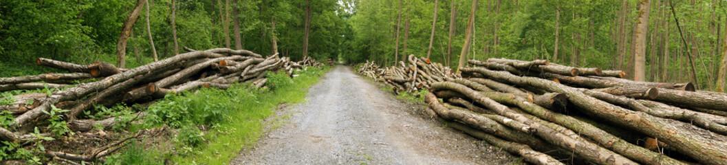 Waldweg mit gefällten Bäumen Panorama