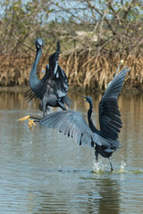 2 Western Reef Herons (Egretta gularis) fighting for fishing rig