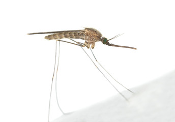 Mosquito Anopheles maculipennis resting on surface