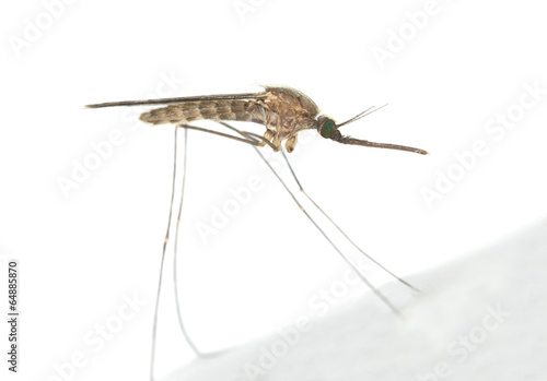 Mosquito Anopheles maculipennis resting on surface - 64885870