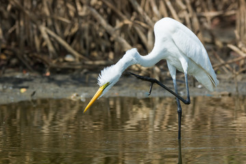 Great White Egret (Egretta alba) scratching its neck with its fo