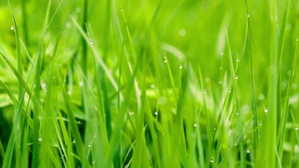 Fresh Grass background, the grass is moving with a wind