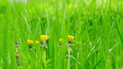 Yellow dandelion flowers in the grass