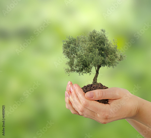 Tuinposter Olijfboom Olive tree in hands as a gift