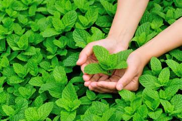 hand protect mint plants in vegetable garden