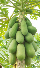 Fruit of papayas hanging from the tree.