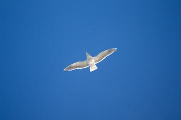Seagull floats above Hokkaido, Japan