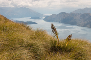 golden speargrass growing above lake Wanaka