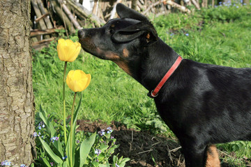 Beauceron puppy smelling a yellow tulip.