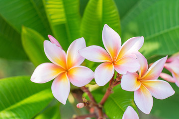Close up of Frangipani.