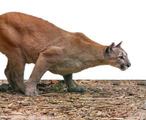 creeping cougar, predatory