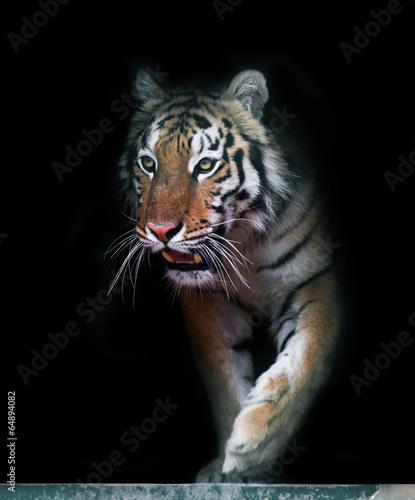 Foto op Canvas Tijger Tiger coming out