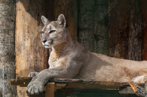 Aluminium Puma portrait of lying puma