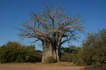 big baobab tree in the Kruger National Park in South Africa