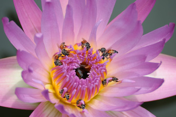 Beautiful lotus with many bees.