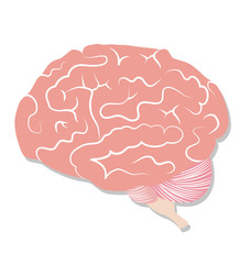 Brain on white background