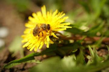 Bee collects pollen from flowering dandelion