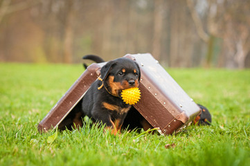 Rottweiler puppy playing with a suitcase