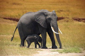 Elephant with a small baby in Amboseli