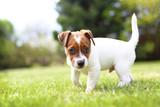 Piesek - słodki szczeniaczek