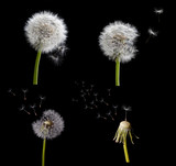 set of old dandelions isolated on black - 64900016