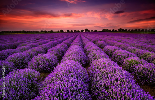 Plexiglas Violet Stunning landscape with lavender field at sunset