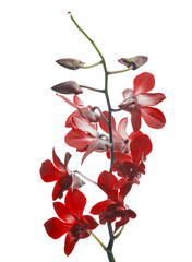 dark red orchid flower branch isolated on white