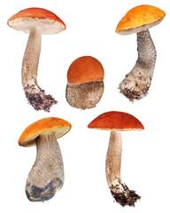 set of orange-cap boletus isolated on white