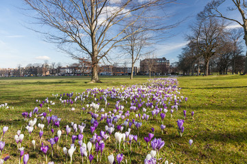 Crocuses on Harrogate Stray