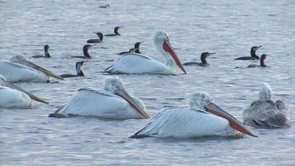 Flock of pelicans swiming in the lake and fishing