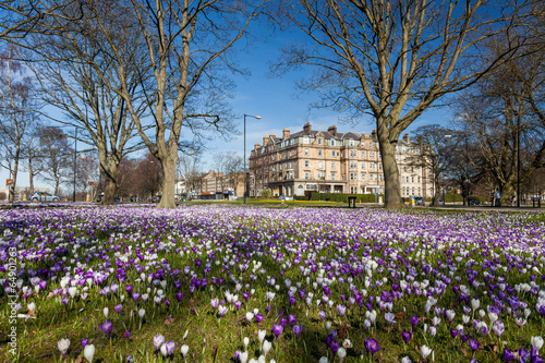Fotobehang Krokus Crocuses on Harrogate Stray
