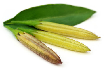 Ayurvedic medicinal Chirata pods with green leaf