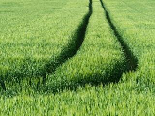 Spuren eines Traktors auf einem Weizenfeld in Oerlinghausen