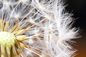 Pusteblume, Löwenzahn, Nahaufnahme © fotoknips