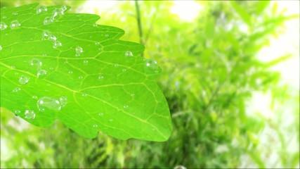 stevia leaf with waterdrop
