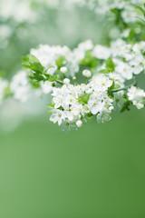 beautiful apricot white flowers