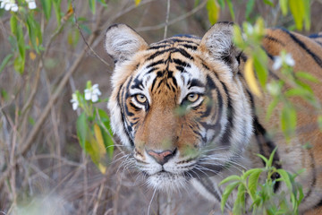 Portrait of a Bengal Tiger between bushes..