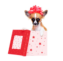 chihuahua dog   sitting in a box  wearing  present bow