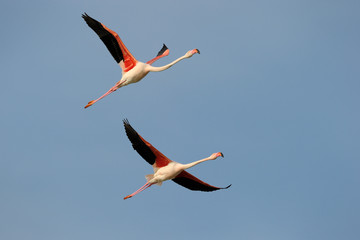 Two Greater Flamingo flying in formation against blue sky.