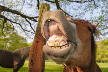 Horse Laughing All Day Long