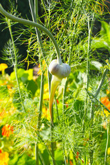 Knoblauch im Gemüsebeet