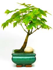 Bonsai Ahorn