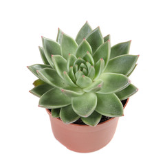 succulent plant in a pot isolated on white background