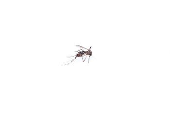 the dead mosquito