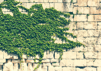 Old stone wall with green ivy