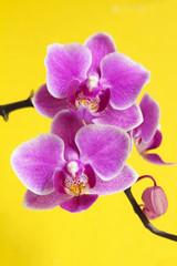 Цветы орхидеи Фаленопсис.