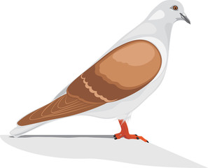 Dove isolated on the white